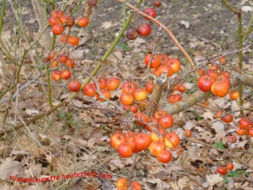 jardin,prunus autumnalis rosea,primevères